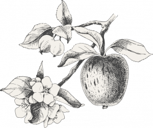apple and blossom sketch